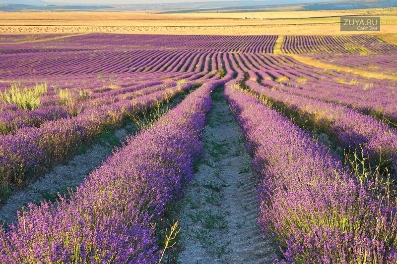 Лавандовое поле в Крыму