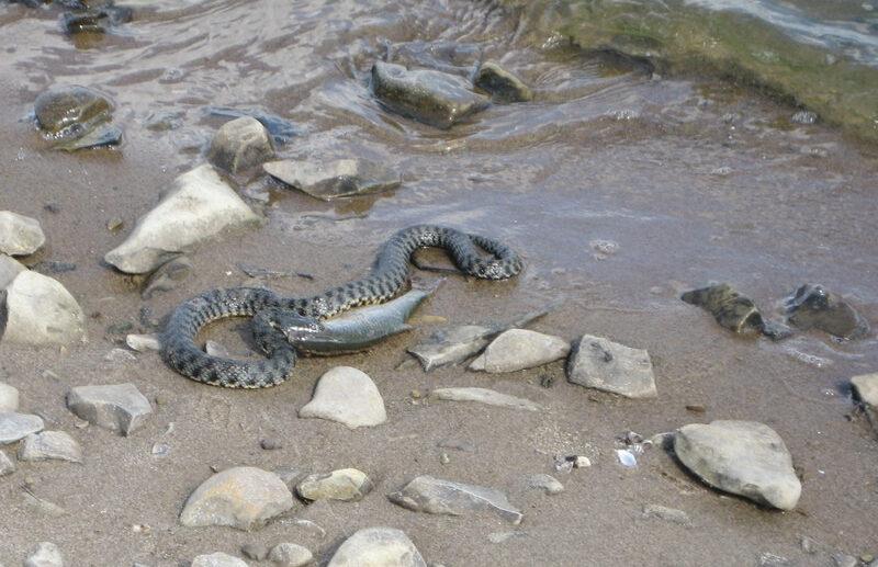 Змея на море в Крыму